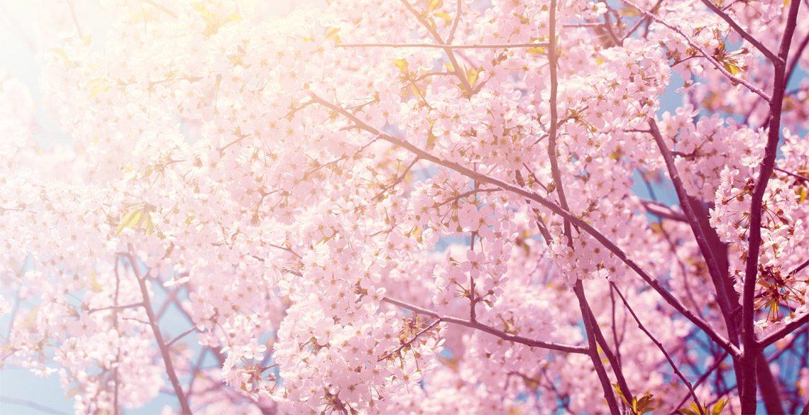 外国の人も驚く桜の開花予想の発表!多くの人を惹きつける桜の魅力