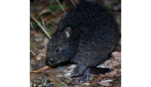 アマミノクロウサギをネコから守る!世界自然遺産登録目指し、急がれる保護対策