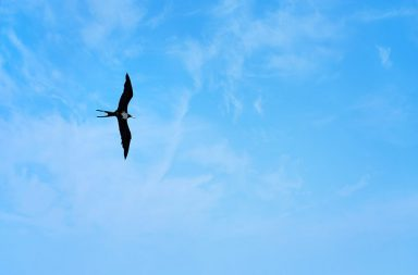 a-caribbean-frigate-bird-flying-through-the-sky-high-above-the-tropical-sea_sf8qtn0bi