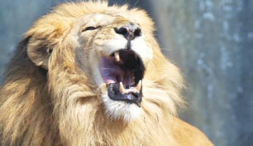 百獣の王ライオンも新型コロナウイルスに感染 バルセロナ